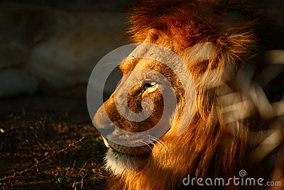 Intensive Male Lion Eyes