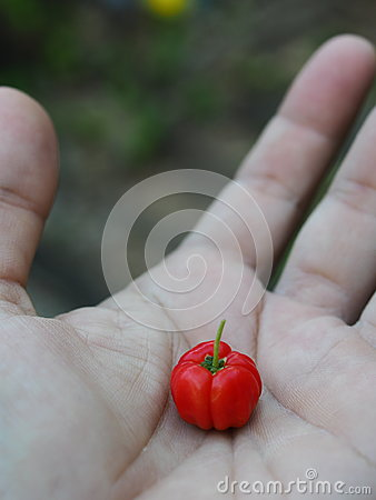 Red cherry in the hand