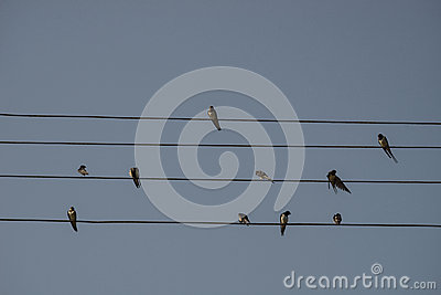 Swallows are sitting on the electrical wire, blue sky background. Small birds resting. Estonian national bird.