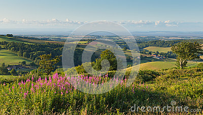 Quantock Hills Somerset England UK countryside views towards Hinkley Point Nuclear Power station and Bristol Channel pink flowers