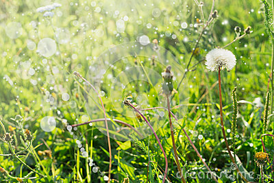 Dandelions on summer field with sun rays, blurred bright background selected focus, blur, summer, spring, sun