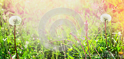 Dandelions on spring field in the sun, summer blurred background banner for website selected focus, blur, summer, spring, sun