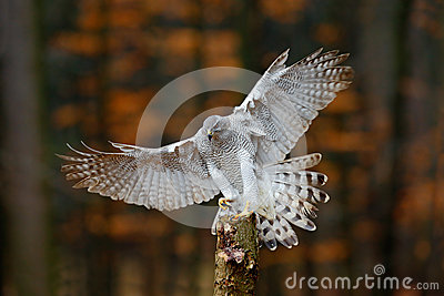 Flying bird of prey Goshawk with blurred orange autumn tree forest in the background, landing on tree trunk