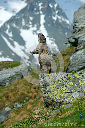 Cute sit up on its hind legs animal Marmot, Marmota marmota, sitting in he grass, in the nature habitat, Grossglockner, Alp, A