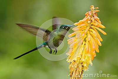 Hummingbird Long-tailed Sylph eating nectar from beautiful yellow flower in Ecuador