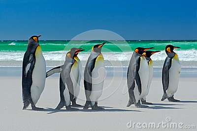 Group of King penguins, Aptenodytes patagonicus, going from white sand to sea, artic animals in the nature habitat, dark blue sky,