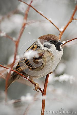 Songbird Tree Sparrow, Passer montanus, sitting on branch with snow, during winter