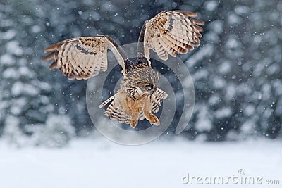 Eurasian Eagle owl, flying bird with open wings with snow flake in snowy forest during cold winter, nature habitat, France