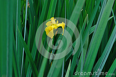 iris flower with green leaves