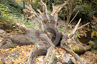 Roots of a fallen old tree