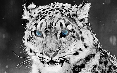 Snow Leopard with Big Beautiful Blue Eyes