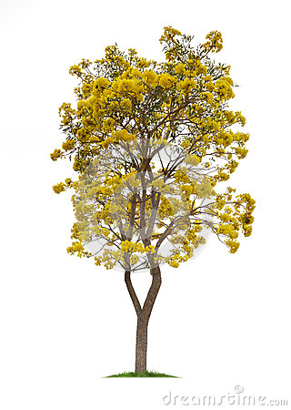 Isolated Silver trumpet tree or Yellow Tabebuia on white background