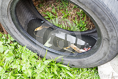 Used tyres potentially store stagnant water and mosquitoes breed