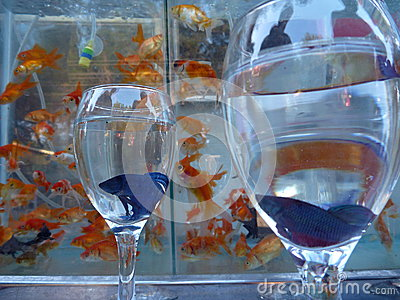 Violet fighter fish in a wine glass