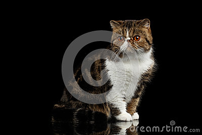 Closeup Exotic Cat Sits on mirror, Alertness Looking in Camera
