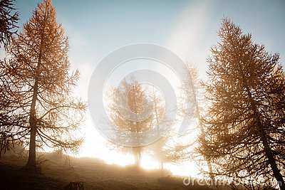 Morning foggy moods in autumn larch trees