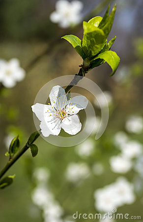white spring flower blossom and green leaves green background