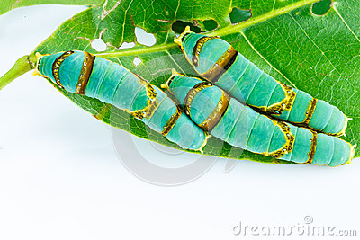 Final instar caterpillar of banded swallowtail butterfly on leaf