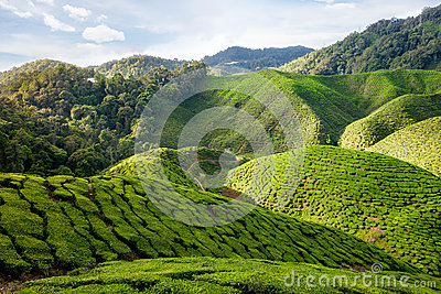 View of valley with tea plantations in Cameron Highlands