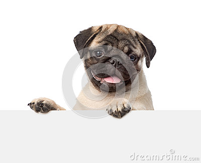 Pug puppy looking at camera from behind empty board. isolated