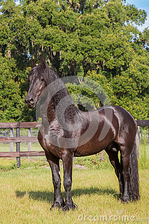 Frisian horse standing tall in a field