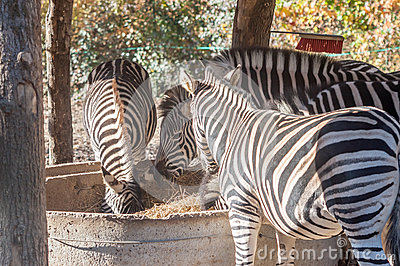 Eating zebras in zoo