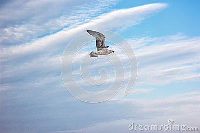 The sea gull in flight against natural blue sky background.