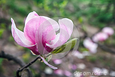 Blossom of Magnolia tree. Beautiful pink magnolia flower on natural abstract soft floral background. Spring flowers in the Botanic