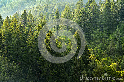 Forest of Pine Trees and Mountains