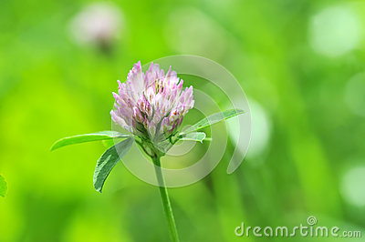 Clover on green background