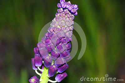 Tassel Grape Hyacinth