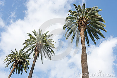 Palm trees white clouds blue sky
