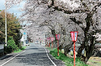 Romantic archway of flourishing cherry blossoms ( Sakura Namiki ) and traditional Japanese lamp