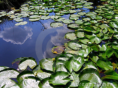 The Pond Lily