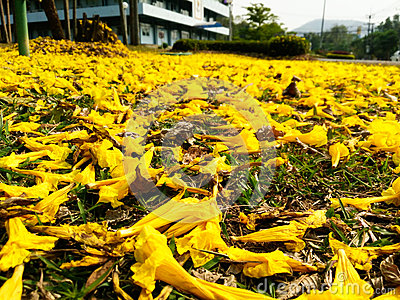 Yellow flowers falling