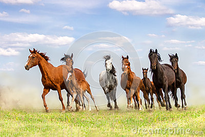 Horse herd run in dust