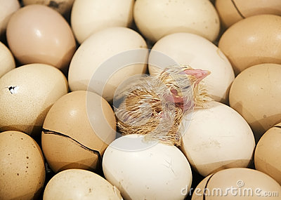 The chick on the eggs in the incubator