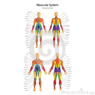 Illustration of human muscles. Female and male body. Gym training. Front and rear view. Muscle man anatomy.
