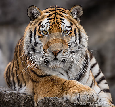 Close up view of a Siberian tiger
