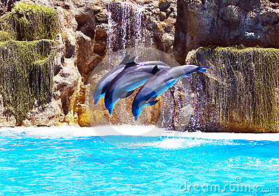 Three Bottlenose dolphins performing syncronised stunt