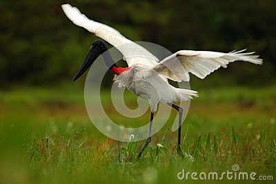 Jabiru, Jabiru mycteria, black and white bird in the green water with flowers, open wings, wild animal in the nature habitat, Pant
