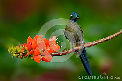 Long-tailed Sylph, Aglaiocercus kingi, rare hummingbird from Colombia, gree-blue bird sitting on a beautiful orange flower, action
