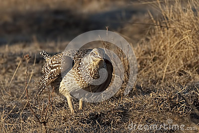 Sharp-Tailed Grouse, Tympanuchus phasianellus, on lek