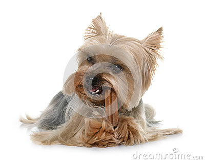 Yorkshire terrier gnawing a bone