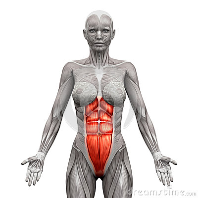 Rectus Abdominis - Abdominal Muscles - Anatomy Muscles isolated
