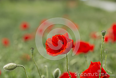 Field of bright red corn poppy flowers in summer. Papaver rhoeas