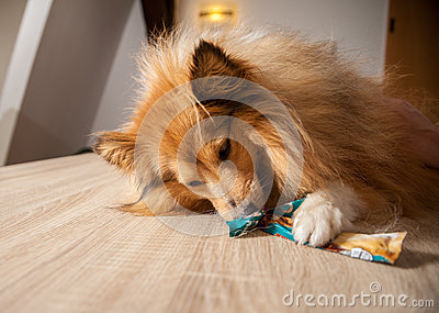 Shetland sheepdog chews on a dog treat