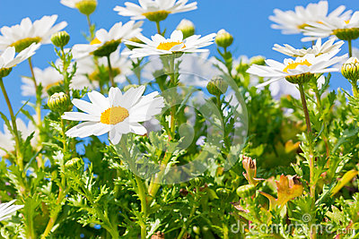 Beautiful White daisy flower with sky blue.