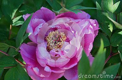 One peony flower, homeopathic medicinal plant
