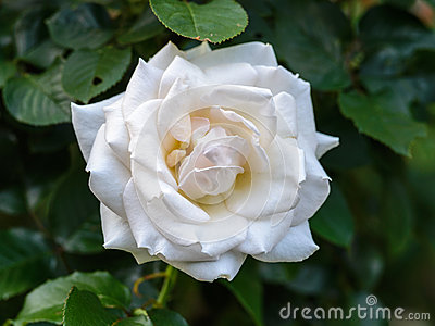 White 'Racy Lady' Rose